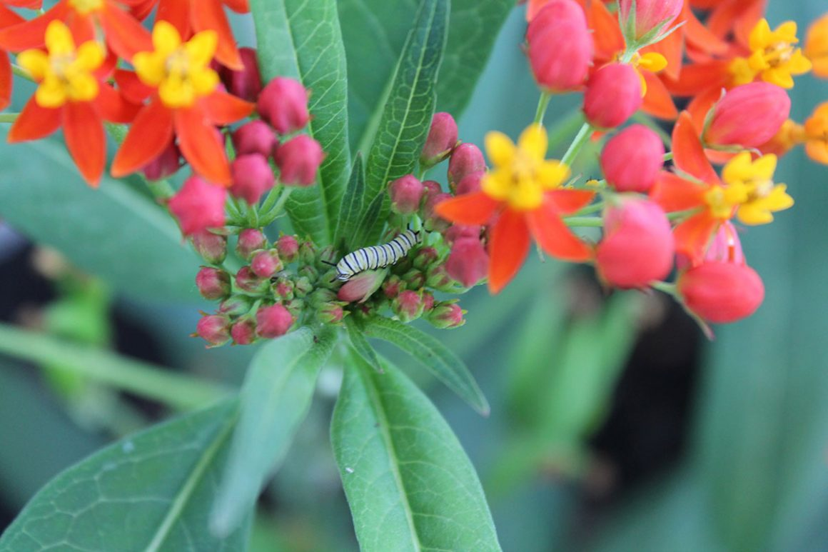 small monarch caterpillar on milkweed plant