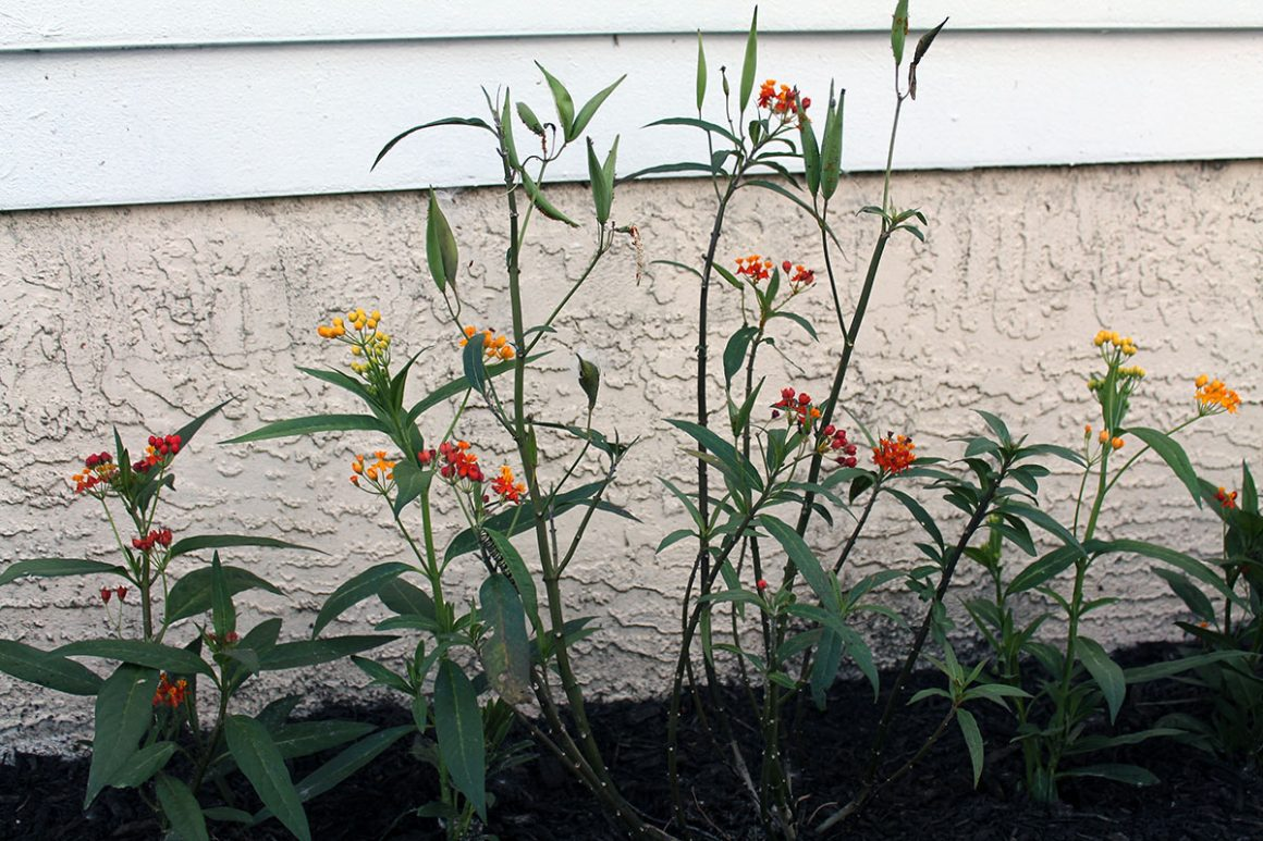 milkweed plant monarchs