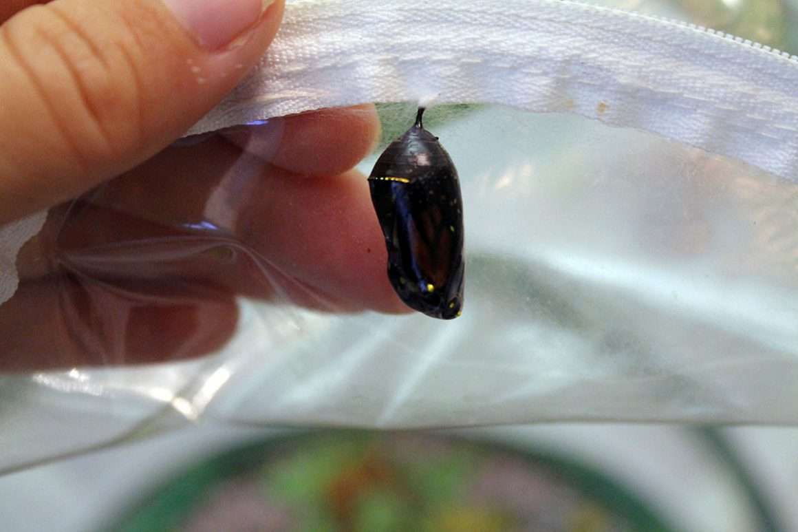 monarch chrysalis about to hatch