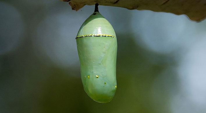 monarch life cycle chrysalis