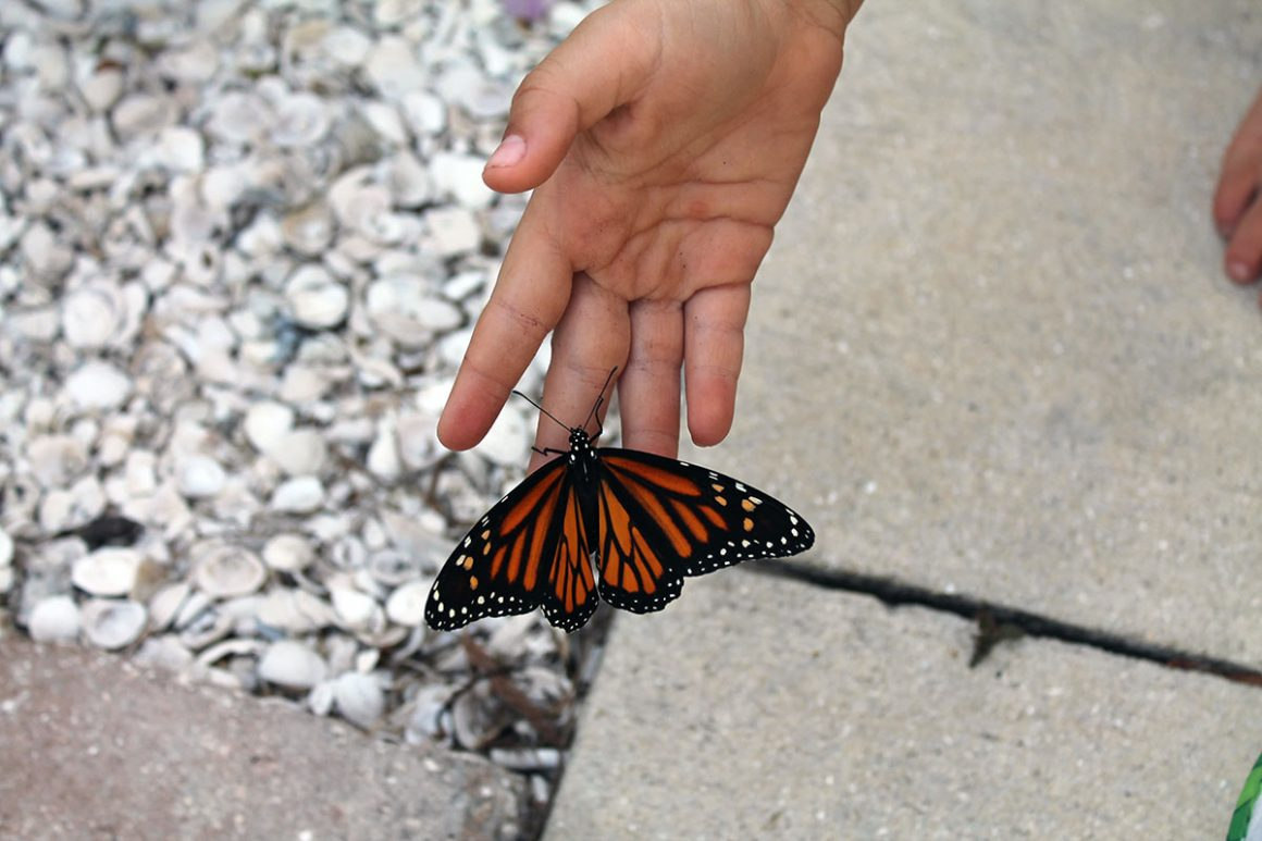 save monarch butterflies